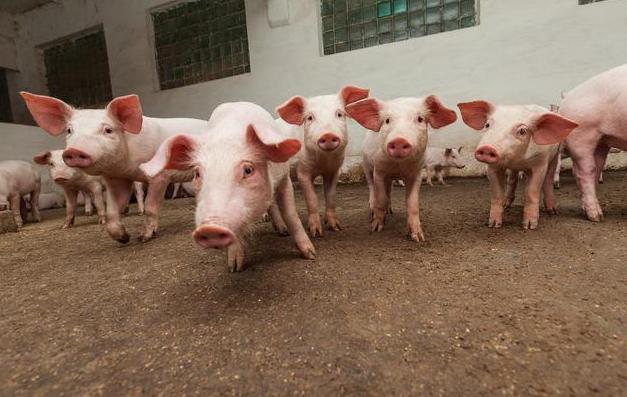 为啥农村愿意养猪不愿养羊?消费需求端决定产业发展