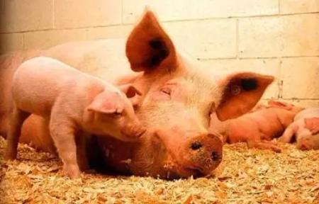 猪肉产量预计下降15%,朱来主要从这几个国家进口猪肉