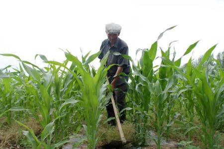 十有八九的人种玉米是随大流,玉米播种时间搞错了,你知道吗?