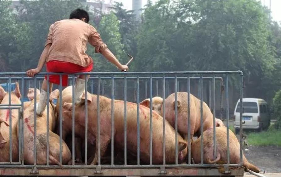 """靖江生猪行业迎来""""牛市"""" 猪价一个月涨3元/斤"""