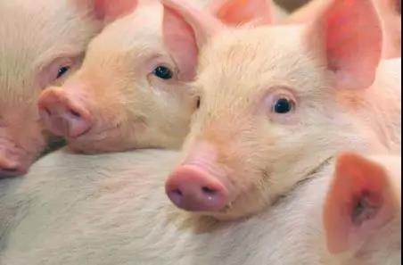 3月江西生猪价格大幅上涨,养殖利润激增扭亏为盈