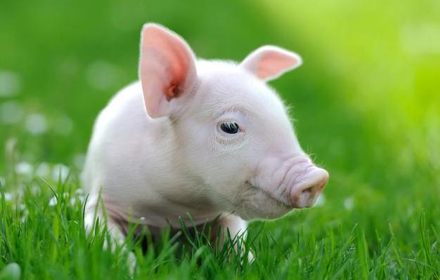 植物精油在养猪过程中的功效,不得不get的养猪知识