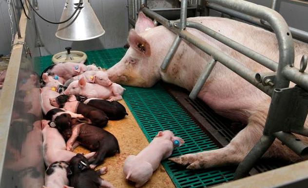 当前猪场的类型及特点,不同类型猪场差异大