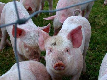 2019年4月18日仔猪价格:15公斤仔猪价格行情走势