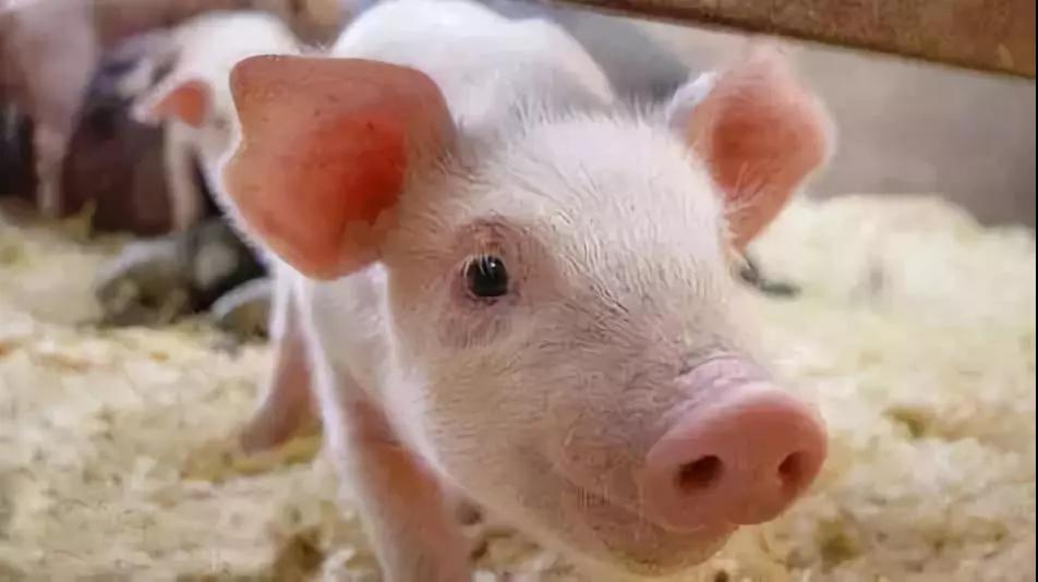 2019年第1季度猪牛羊禽肉产量2252万吨 同比下降2.8%