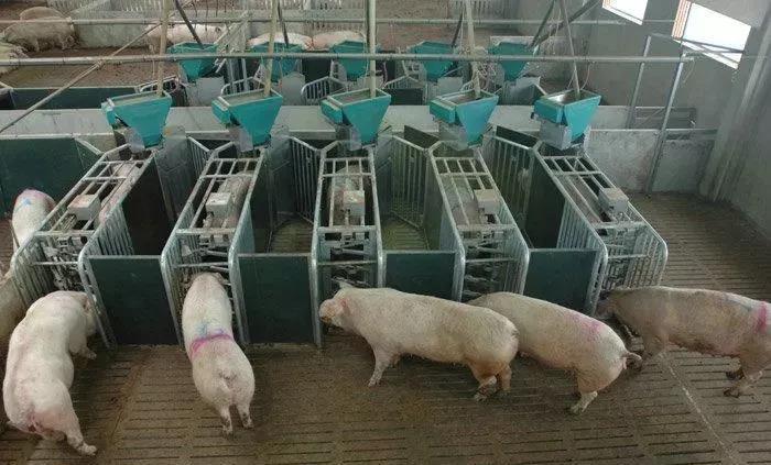 猪群的管理是决定猪场盈亏的重要命脉