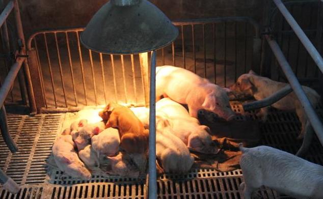 初生仔猪的饲养管理,护理方面须注意这几个方面