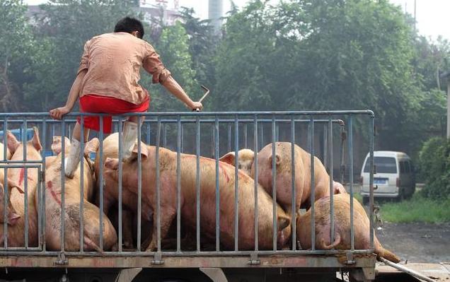 生猪价格仍存不确定性,养猪人该如何看待未来猪价