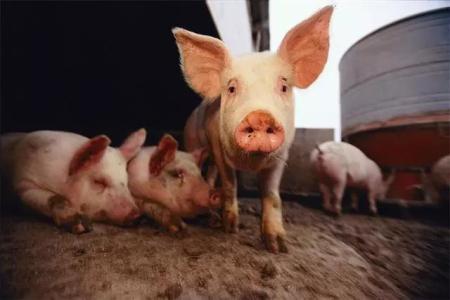 非瘟阴霾未散尽,山东沂南生猪价格明显下滑
