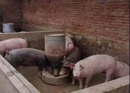2019年04月19日全国各省生猪价格土杂猪价格报价表