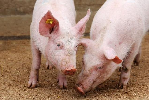 母猪有泪斑怎么回事?往往是这两方面出了问题