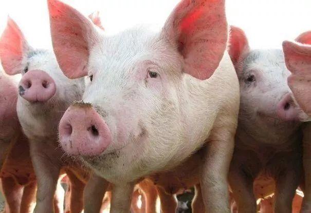 2019年04月20日全国各省生猪价格外三元价格报价表