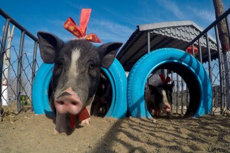 俄罗斯砸50亿美金来青岛养猪,这闹的是什么鬼?