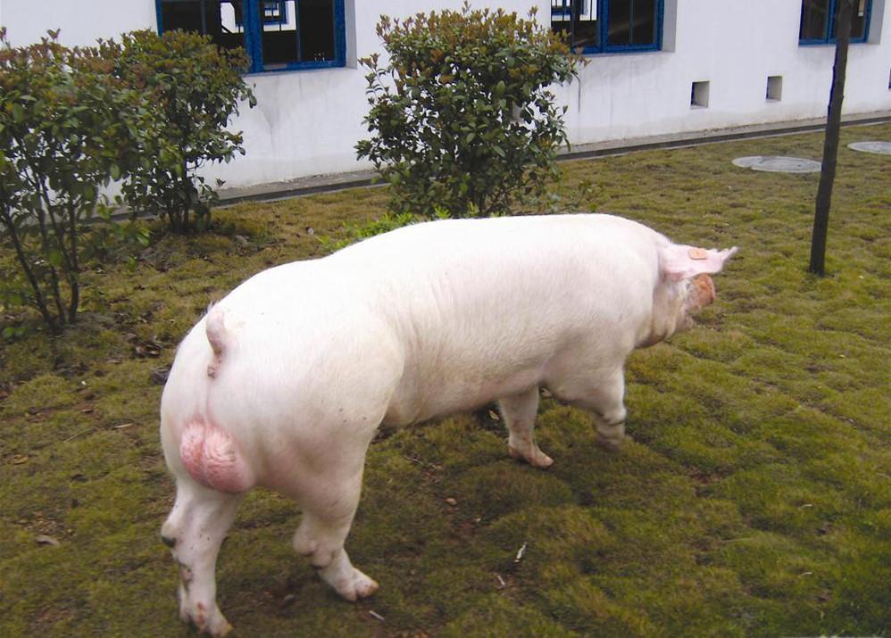 制订科学的引种计划和管理好引进种猪的标准