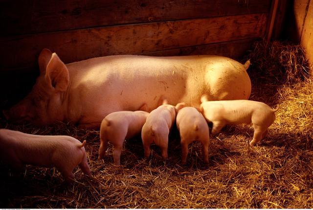 白酒养猪很奇妙,猪场治猪病不花一分冤枉钱!