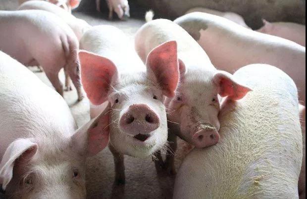一季度全国生猪存栏量:云南同比下降21%,湖南10.7%,四川8.5%