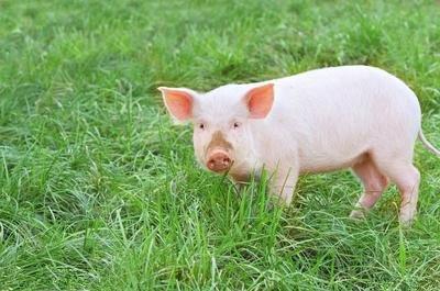 胀肚子死的猪越来越多了,学习学习这个病的临床诊断与防治!