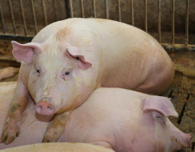养猪养好肠道,猪少生病养猪户多挣钱!