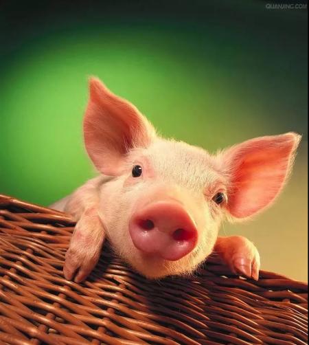 广东发布生猪业发展规划和区域布局,粤北成唯一目标增长区域