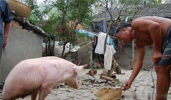 猪坚强成当地小明星,周边村民专程过来看它!