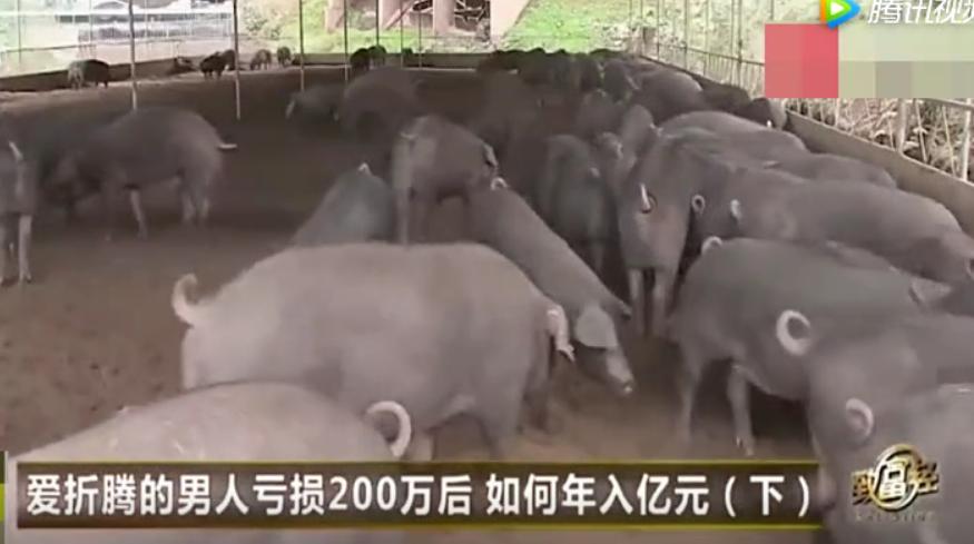 农村大哥养猪新模式,养猪种菜两不误,产值上亿元