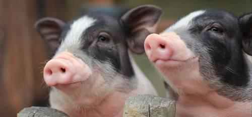 调研:湖南、湖北地区生猪存栏下降20%-30%