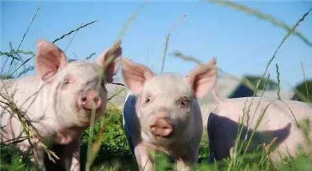 """猪断奶须注意!养猪人必知的猪断奶""""八不做""""原则"""