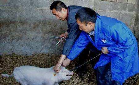 防疫员分享—猪疫苗过敏原因分析与预防措施