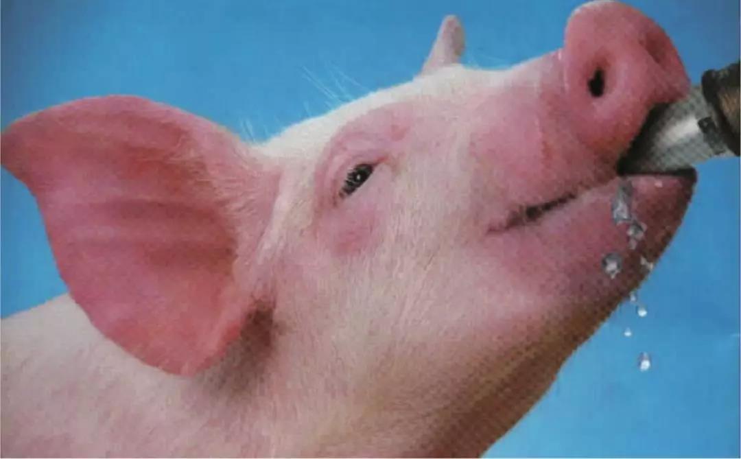 发生非瘟猪场易犯的10个错误,血的教训中总结的猪场12道防控措施