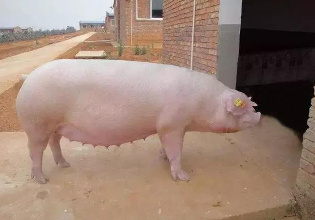 养猪需要知道的五个经典口诀,学好了养猪就是这么简单