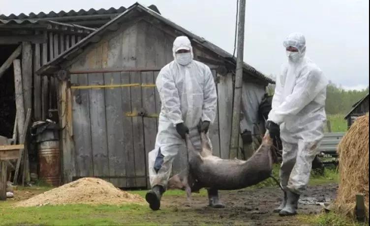 日本爱知县发生第21例猪瘟