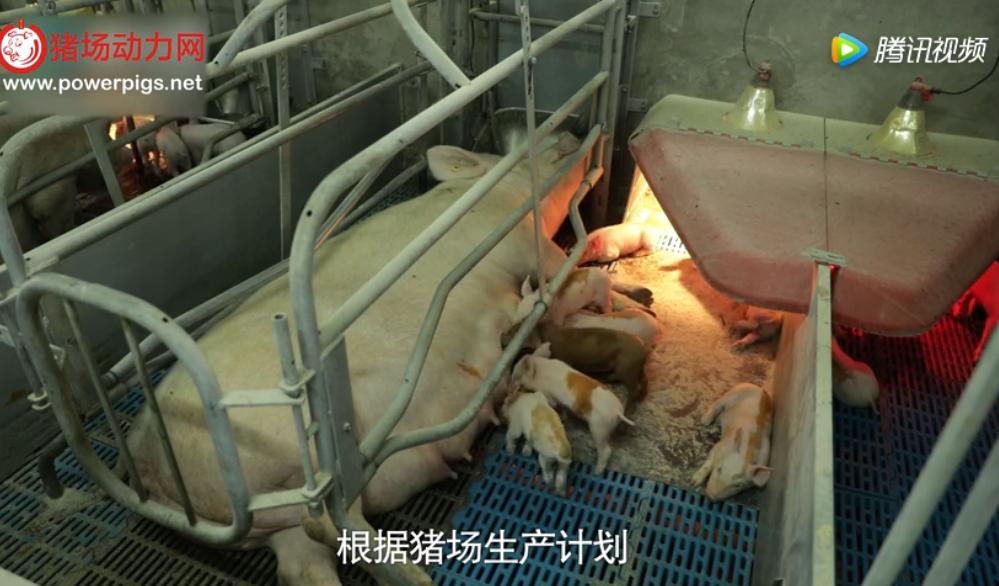 奎哥养猪第一季第三期断奶管理