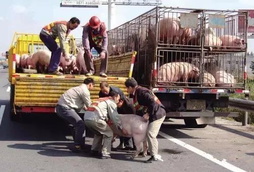 夏季长途运输猪的技术措施