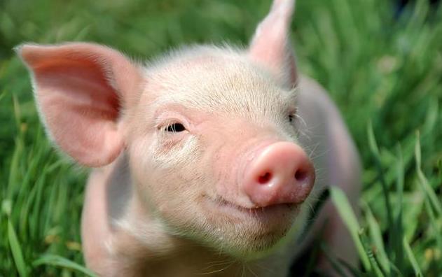 养猪掌握这34条规律,养猪你也能年入百万