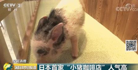 不撸猫开始盘猪!日本小猪咖啡店火了,顾客可与小猪亲密互动