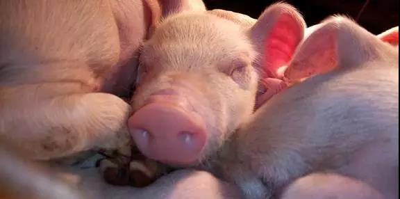 千万养猪场推荐,史上最全母猪难产的万能方案!