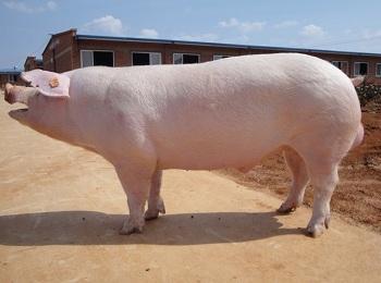当前提升公猪精液品质的现实及战略意义!
