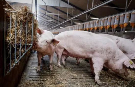 如何更好地管理妊娠母猪栏?稻草有意想不到的效果