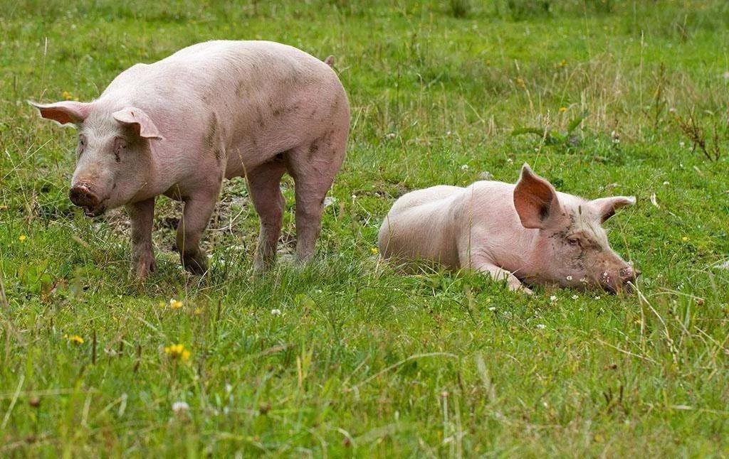"""年内涨50%都算""""绩差生"""",超级周期下猪肉股还能火多久?"""