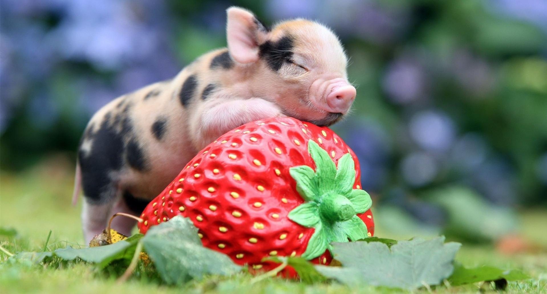 猪价出现阶段性上涨,雏鹰农牧今年将聚焦主业全力养猪!