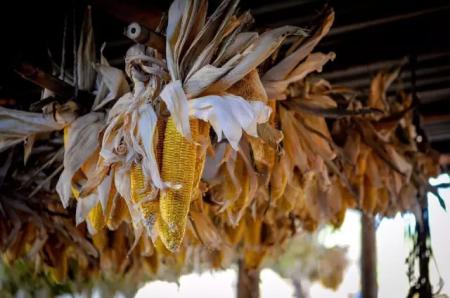 玉米种植面积减少,我国玉米首次出现年度内产不足需