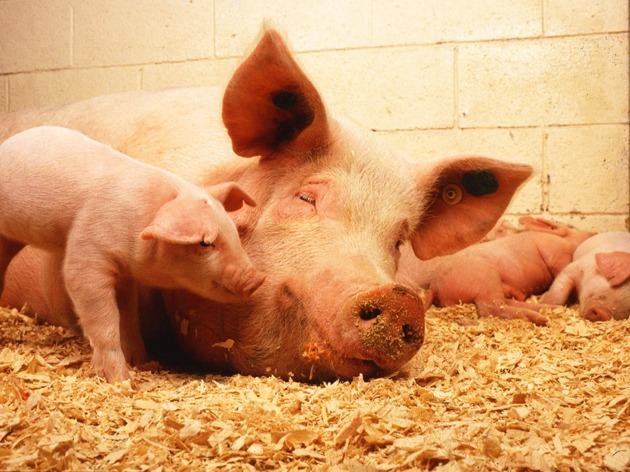 猪周期利好未完,养殖股料再掀升势