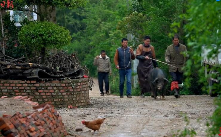 农村夫妻直播养猪,现如今不会养猪的农民不是好主播