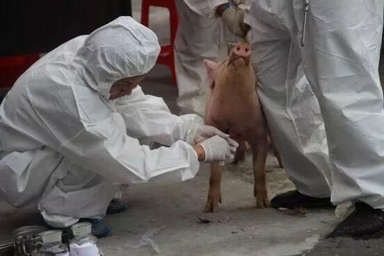猪得病让全部工业生产吃药?