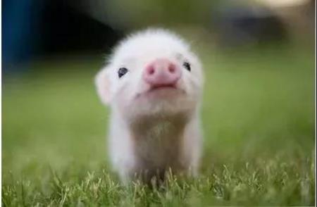 小猪急性倒地死亡的原因分析,以及防治措施