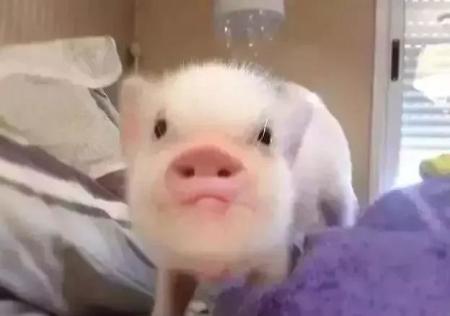 养猪业的经典神段子,猪业从业人员看完会流泪!