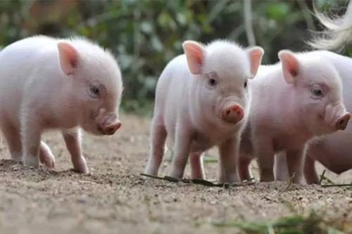 2019年4月27日仔猪价格:15公斤仔猪价格行情走势