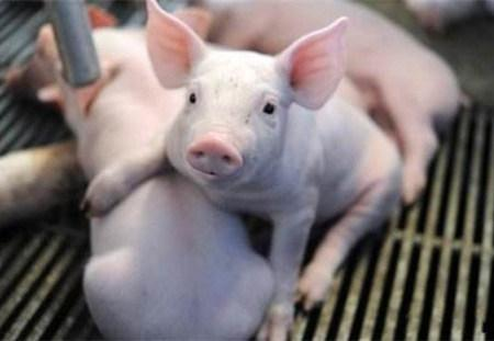 2019年4月27日仔猪价格:20公斤仔猪价格行情走势