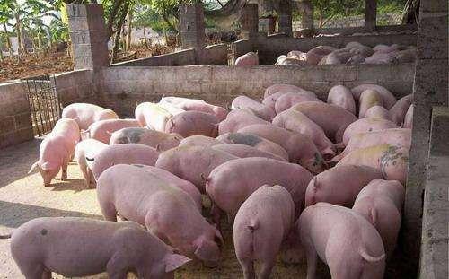 一个丹麦农场主猪场管理给我们的启示,4大因素助力高产