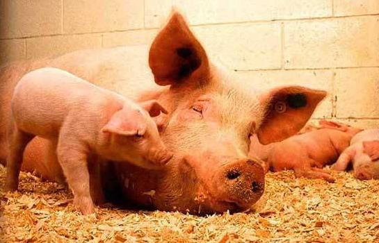 母猪第一胎竟然这么重要,初次产胎数量可预测终生繁殖性能